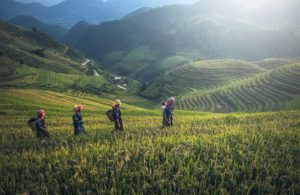 rice farm field farmer